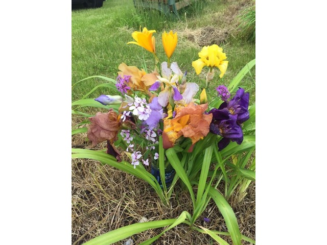 Daylily plants, Iris plants, and cut Flower in Au Gres, Arenac ...